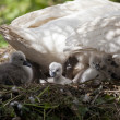 Swans nest — Stock Photo