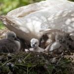 Swans nest — Stock Photo