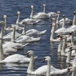 Group of swans swimming — Stock Photo