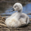 Cygnet profile — Stock Photo #12368204