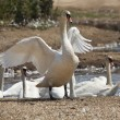 Swan stretching its wings — Stock Photo #12368275