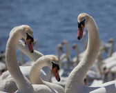 Three swans — Stock Photo