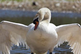 Swan with wings outstretched — Stock Photo