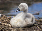 Cygnet profile — Stock Photo
