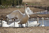Swan stretching its wings — Stock Photo