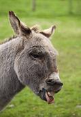 Laughing donkey — Stock Photo