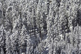 Snow laden conifers — Stock Photo