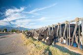 Cows Feeding — Stock Photo