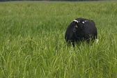 A cow in deep grass — Stock Photo