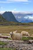 Sheep grazing freely in natural landscape of Lofoten. — Стоковое фото