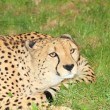 Cheetah in the nature - Stock Photo