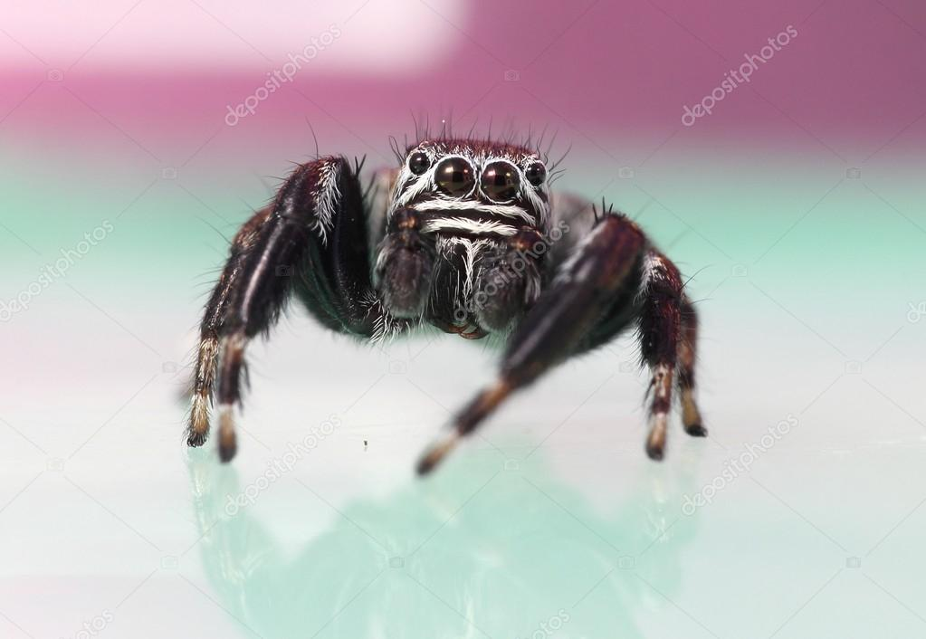 Jumping spider  Stock Photo #14027940