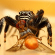 evarcha arcuata jumping spider — Stock Photo