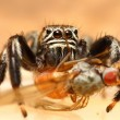 Evarcha arcuata jumping spider - Stock Photo