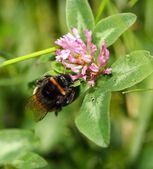 大黄蜂上一朵花 — 图库照片