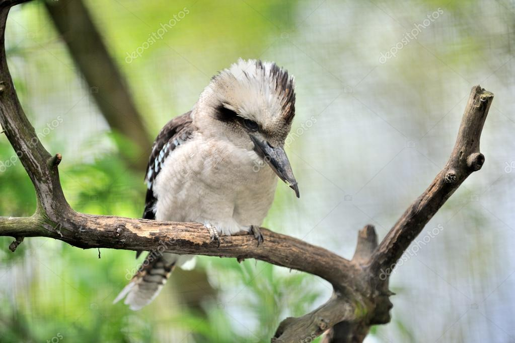 Kookaburrah bird on a dead branch — Stock Photo #14072509