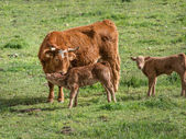 Mother cow and youngsters — Stock Photo