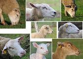 Sheep head two — Stock Photo