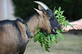 Goat two — Stock Photo