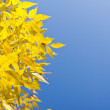 Autumn foliage yellow — Stock Photo