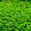 Background - Clover — Stock Photo