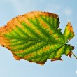 Ragged Autumn Leaf — Stock Photo