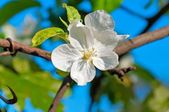 Apple Trees Flower — Stockfoto
