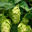 Fresh Hop Closeup — Stock Photo