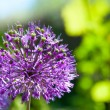 Blossoming Allium — Stock Photo