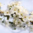 Foto Stock: Spring twig of the cherry blossoms