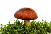 Fresh forest mushroom — Stock Photo