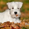 Stock Photo: White Miniature Schnauzer puppy