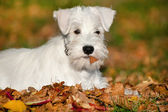 White Miniature Schnauzer puppy — Stock Photo