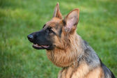 German Shephard — Stock Photo