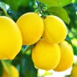 Stock Photo: Lemons