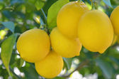 Lemons on tree — Stock Photo