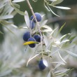 Olives on tree — Stock Photo