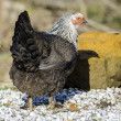 Stock Photo: Funky chicken