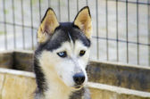 Husky Siberian Wolf Dog — Stock Photo