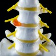 Spine model, vertebra model — Stockfoto