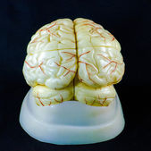 Brain model — Stock Photo
