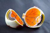 Eye model — Stock Photo