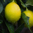 Stock Photo: Yellow and green lemons