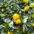 Mandarins on tree — Stock Photo