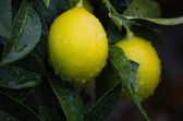 Yellow and green lemons — Stock Photo