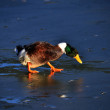 Stock Photo: Ducks walk on ice bounded lake