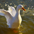 Stock Photo: Duck flapping its wings on lake