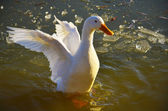 Duck flapping its wings on lake — Stock Photo