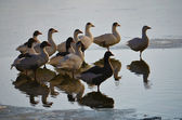 Ducks walk on ice bounded lake — Stock Photo