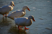 Ducks walk on ice bounded lake — Foto Stock